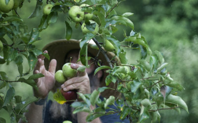 Apple Orchard: Thinning